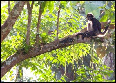 Spider Monkey Lower Misahualli.