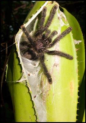 Tarantula on plant.
