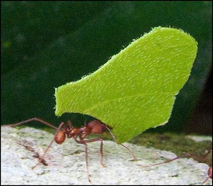 Leaf_cutter_ant_Ecuador