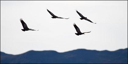 Scarlet Ibis take flight near Volcan Antisana.
