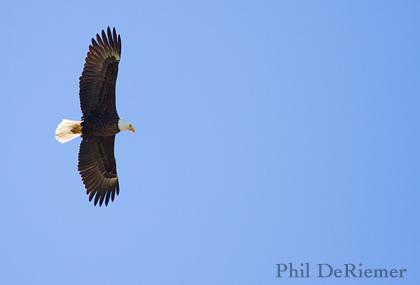 Bald_eagle_stanley_Idaho