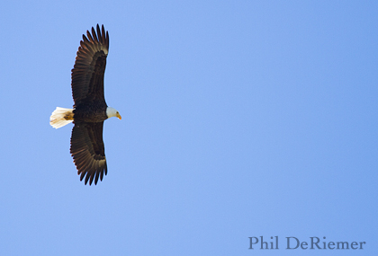 Bald_eagle_stanley_Idaho