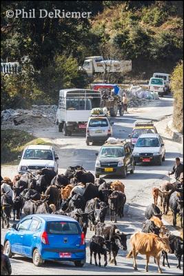 cows, cars, jammed, Bhutan